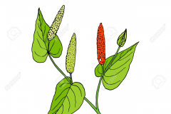 Plant-Illustration-of-Long-Pepper