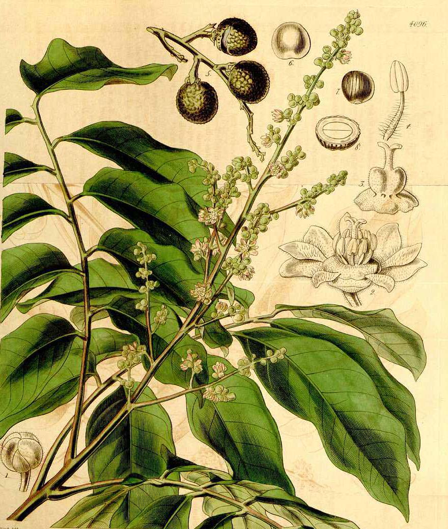 Longan-Plant-illustration