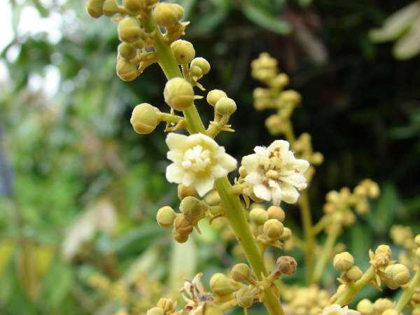 Longan-flower