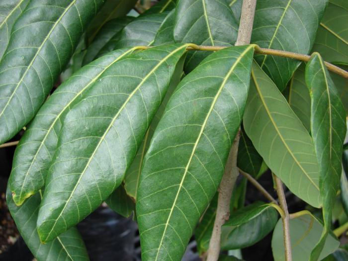 Longan-leaves