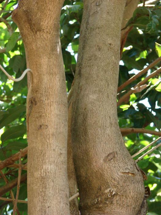 Tree stem png