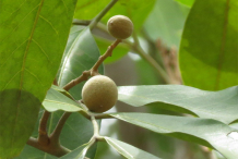 Green-Longan-on-the-tree