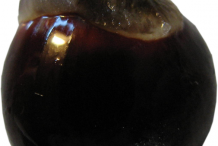 Longan-Seed