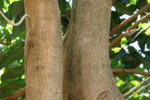 Longan-tree-Stem