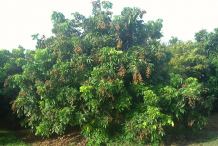 Longan-tree