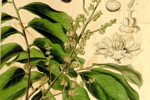 Longan-Plant-illustration