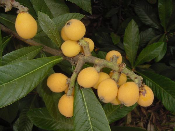 Loquat-fruit