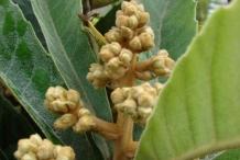 Loquat-flower-bud