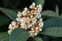 Loquat-flower