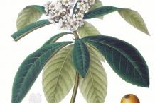 Loquat-plant-illustration