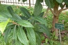 Loquat-leaves