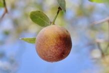 Mature-fruit-of-Lotus-tree
