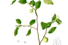 Plant-Illustration-of-Lotus-tree