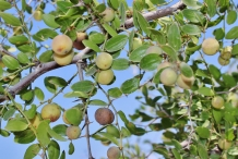 Fruit-of-Lotus-tree-on-the-tree