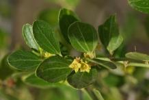 Leaves-of-Lotus-tree