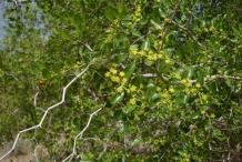 Lotus-tree-growing-wild