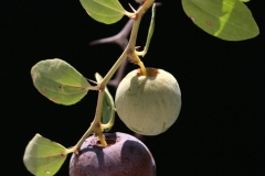 Ripe-fruit-of-Lotus-tree-on-the-tree