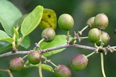 Unripe-fruits-of-Lotus-tree