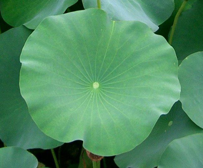 Leaves-of-Lotus