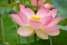 Close-up-flower-of-Lotus