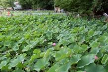 Lotus-farm
