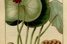 Plant-illustration-of-Lotus