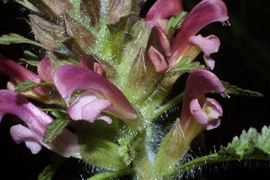 Lousewort--flower