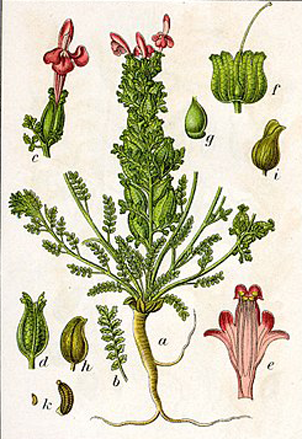 Plant-Illustration-of-Lousewort