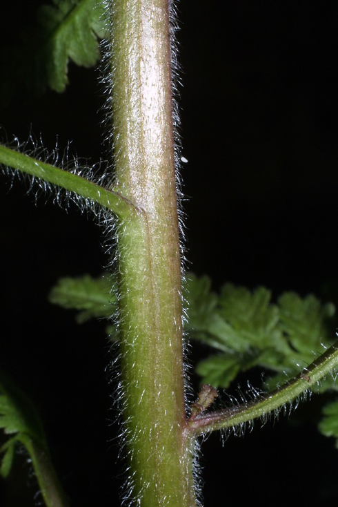 Stem-showing-leaf-bases-of-Lousewort