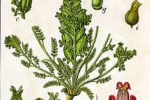 Plant-Illustration-of-Lousewort