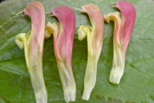 Closer-view-of-flowers-of-Lousewort