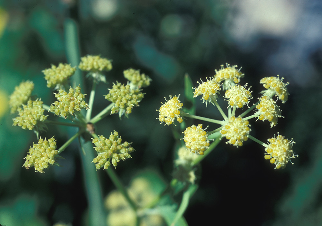 Flowers-of-lovage-plant