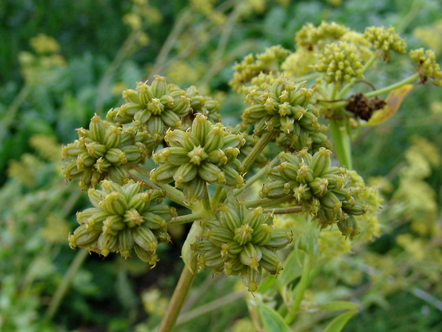 Fruits-(Seeds)-of-Lovage-Plant