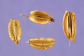 Lovage-Seeds