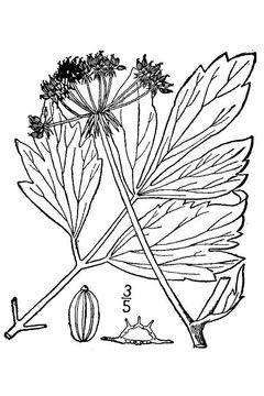 Lovage-Sketch