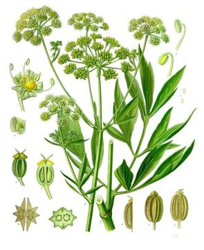 Plant-Illustration-of-Lovage