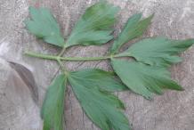 Lovage-Leaf