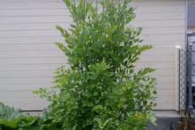 Lovage-plant