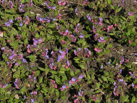 Lungwort--Plants-growing-wild
