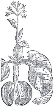 Sketch-of-Lungwort--plant