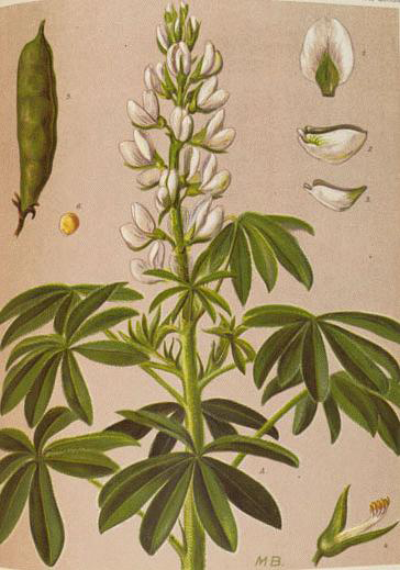 Lupin-Plant-Illustration
