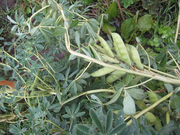 Pods-of-Lupini-beans