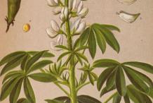 Lupin-Plant-Illustration