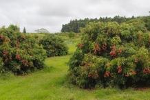 Lychee-farm