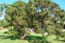 Lychee-tree