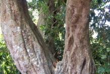 Lychee-trunk