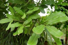 Leaves-of-Macadamia-nuts