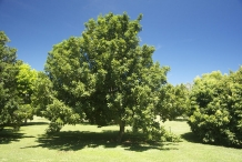 Macadamia-nut-tree