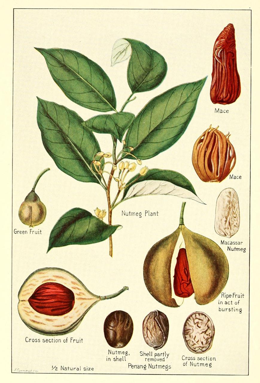 Plant-illustration-of-Mace