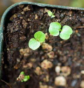 Mache-seedlings